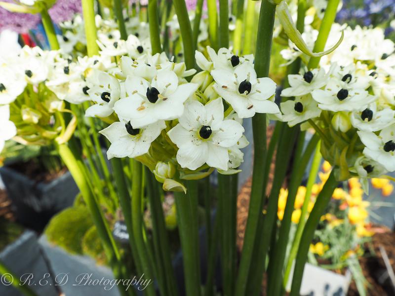 rhidixonblog lifestyle blogger rhs flower show